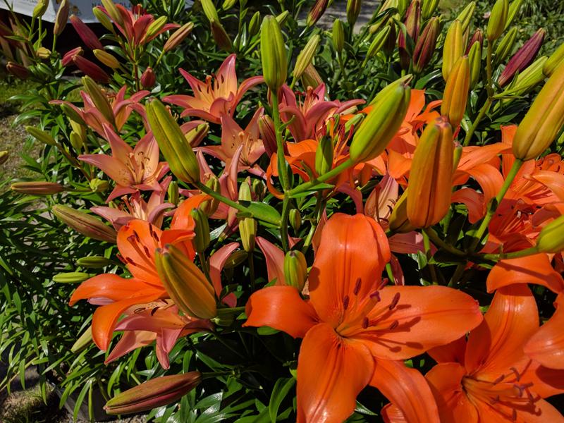 Oriental Lily in flower