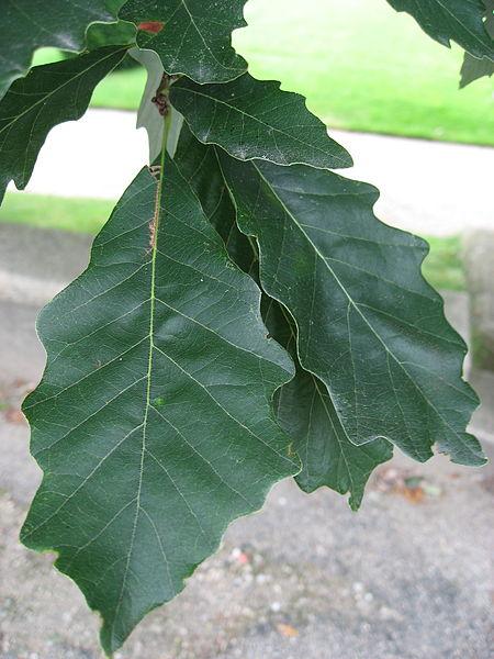 Swamp White Oak Quercus Bicolor leaf up close