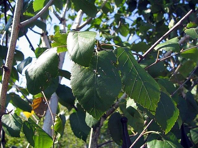 Jacquemontii Birch leaf