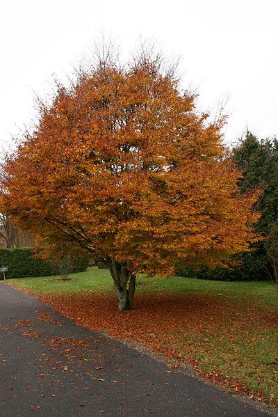 Threadleaf Beech Fall Color