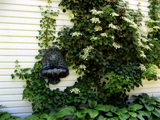 Climbing Hydrangea clings to wall of house with lush foliage and white flowers
