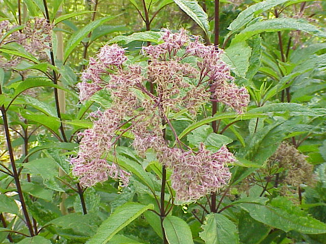 Joe Pye Weed unique pink flower bloom on top of its tall stem