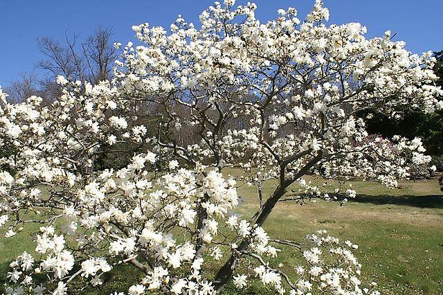 Royal Star Magnolia in full bloom