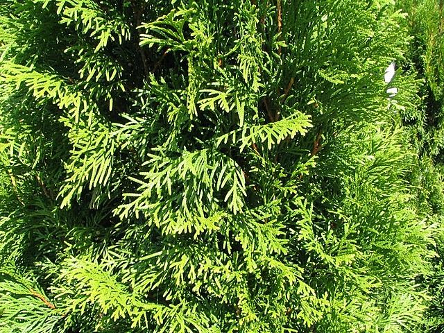 Emerald Green Arborvitae foliage