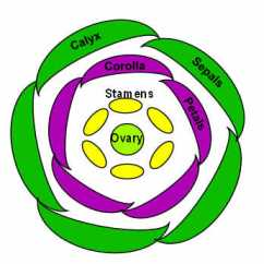 Flower Parts Diagram Bohr Worksheet Structure To Illustrate