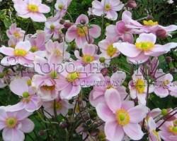Анемоны японские осенние сорта Hadspen Abundance