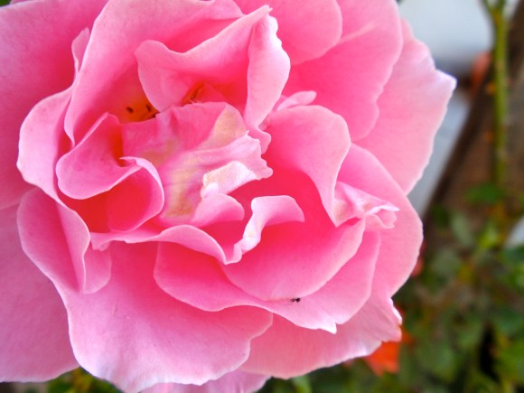 Queen Elizabeth tea rose flower