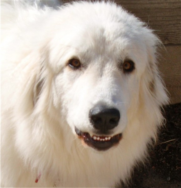 great pyrenees-bella the big dog