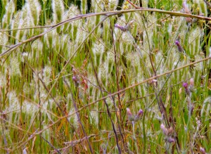 weeds/native grasses-sonoma county