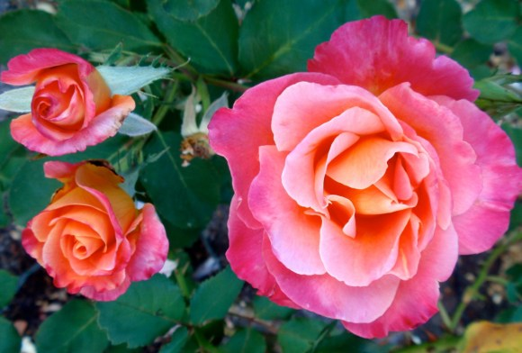 floribunda rose-autumn sunset