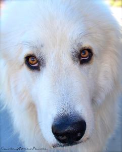 Bella talks with her eyes~Great Pyrenees Dog