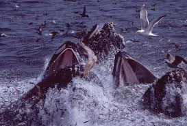 whales feasting on anchovies