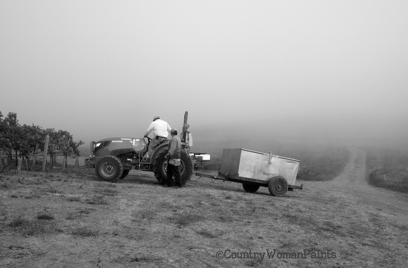 Pinot Harvest 2014 Begins