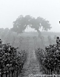 vineyard-oak