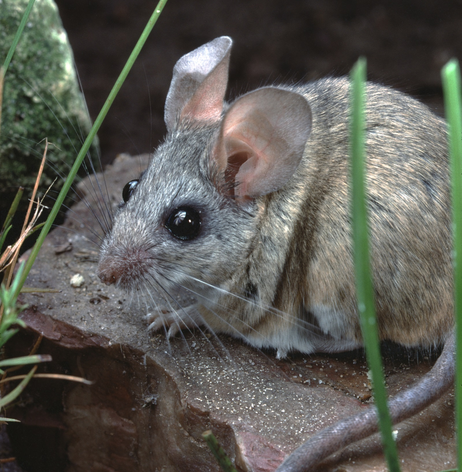 Cactus Mice Test Positive for Hantavirus, First Local Detection of ...