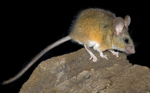 Mouse Tests Positive for Hantavirus | News | San Diego County News ...