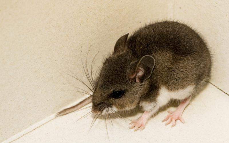 Three Deer Mice Test Positive for Hantavirus | News | San Diego ...