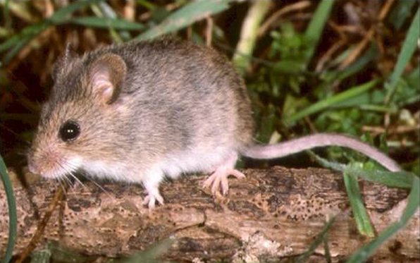 Two Mice Test Positive for Hantavirus | News | San Diego County ...