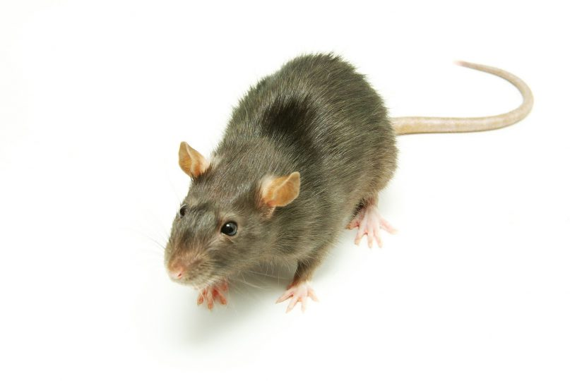 5 Tips to Keep Rats Out of Your Home | News | San Diego County ...