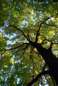 image of walnut tree