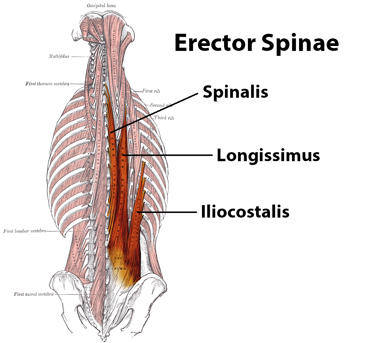 hight resolution of so my favorite massage therapist grabs these ropy muscles with his thumbs and presses towards the spine he goes up and down between the hip bone and the