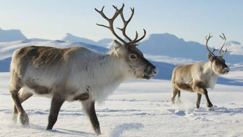 Reindeer | (Photo: Dmitry Chulov/Shutterstock)