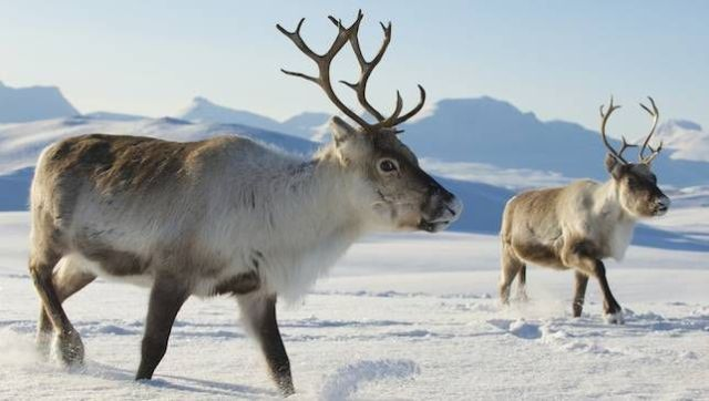 Santa's Reindeer are female - Did you know that Santa's reindeer are female? Here is a fact about antlers and who has them or not in this caribou family. Also included are some facts about this animal that adapts to snow well. Besides, Only women would be able to drag a fat man in a red velvet suit all around the world in one night and not get lost!"
