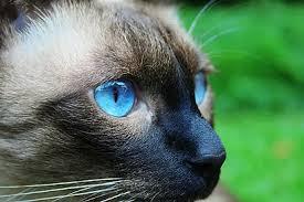 Siamese Cat Day