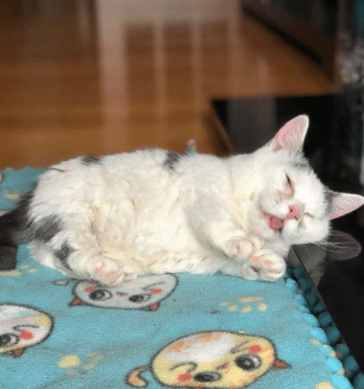 Meet Potato A Blind Cat 🐈 - This is a special cat that is blind and has short legs. #PotatoBlindCat #Potato