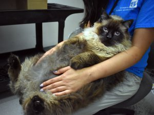 "29-pound cat – dubbed ""Chubbs"" – rescued from busy California street"