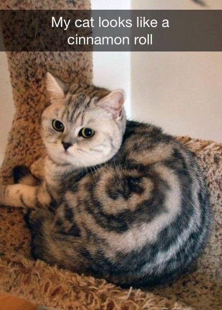 Cinnamon Roll Cat - Here is an interesting markings on a cat. Unless it was Photoshopped.  I call this Cat Cinnamon Roll Cat. Even the caption of the photo says my cat looks like a cinnamon roll.
