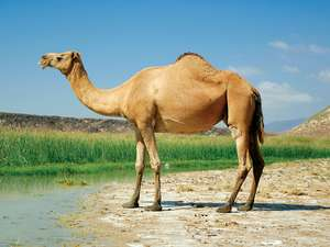 Photo of a camel.