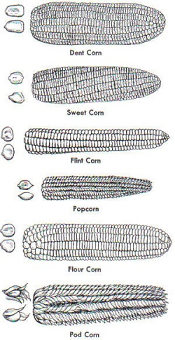 Buttered Corn Day - Types of Corn