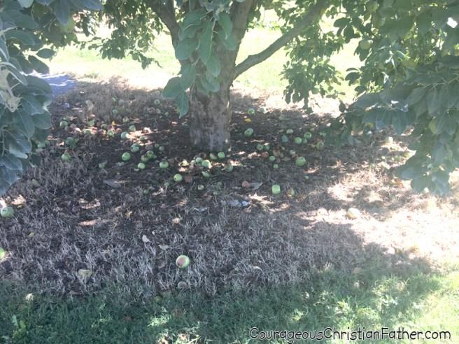 Carvers Orchard & Farm Market Apple Tree