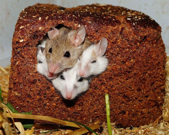 mastomys-mice-nager-rodents-55840-4557928