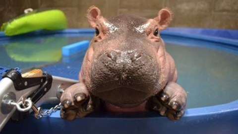 Hippo Day - Yes that is right a day for the Hippopotamus (Hippo for short). (Fiona 1 year old)