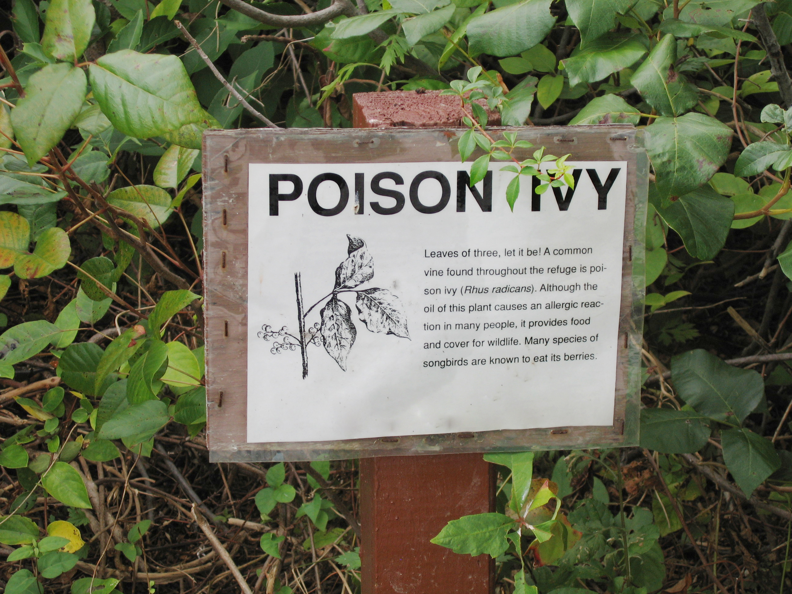 How to identify poison ivy