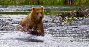 Ours qui coure dans l'eau