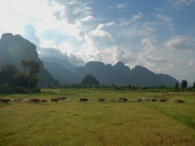 troupeau de vaches, Van vieng, Laos