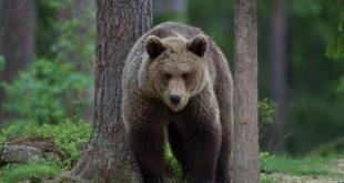 réagir face à un ours survie