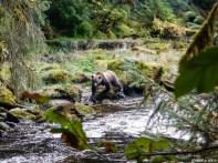 Grizzly chassant des saumons dans la rivière en sautant depuis les rochers de la rive