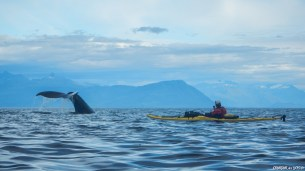 Le Seymour canal qui forme un large fjord qui se jette dans le Stephens passage est unz zone de pêche pour les baleines à bosses que l'on a eu à nouveau la chance d'observer toute la journée et de près! Ici, la nageoire caudale d'une baleine à bosse qui débute une plongée