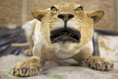 lion-grandeur-nature-galerie-aurignacien-ardeche