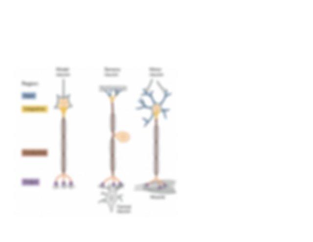 LIFESCI 2L03_F19_Week4LEC_Neurophysiology_Piskuric.pdf