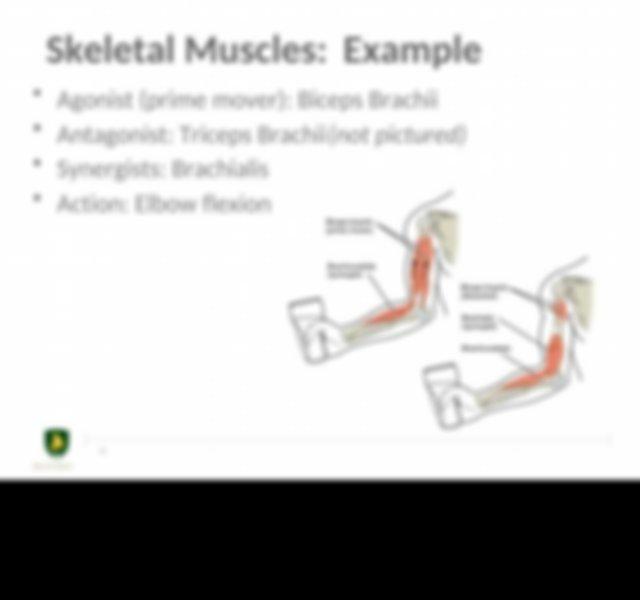 BSC2346 Module 05 Muscle Anatomy.pptx - Muscle Anatomy ...