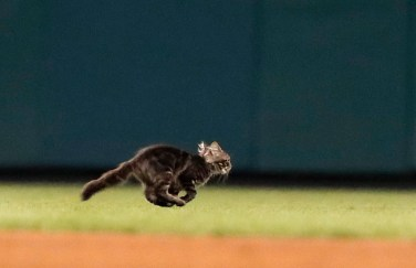 A cat runs across the field during the sixth inning of a baseball game between the St. Louis Cardinals and the Kansas City Royals on Aug. 9, 2017, in St. Louis. (AP Photo/Jeff Roberson)