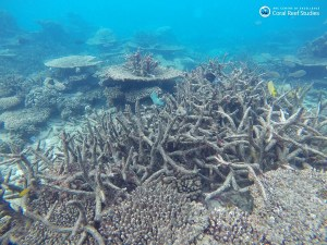 Dead-staghorn-coral.jpg?resize=300%2C225