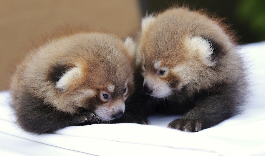 Image of: Endangered Animals Twin Red Pandas Huddle With Each Other At The Rosamond Gifford Zoo In Syracuse Ny Belonging To An Endangered Species Found In Asia The Male Cubs Were Courthouse News Service New York Zoo Celebrates Birth Of Twin Red Pandas