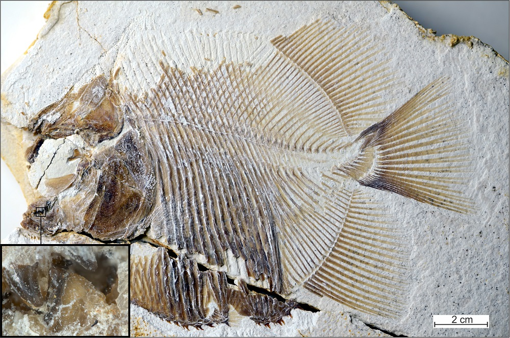 Jurassic-piranha-fossil.jpg?resize=1000%