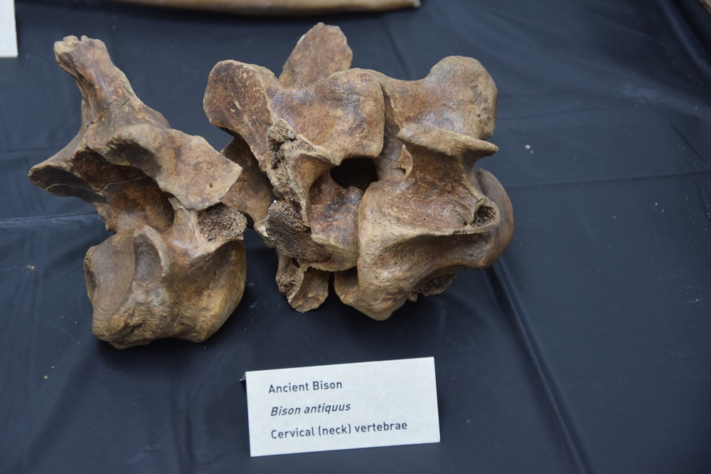 Trove of Ice-Age Fossils Found in LA Subway Dig